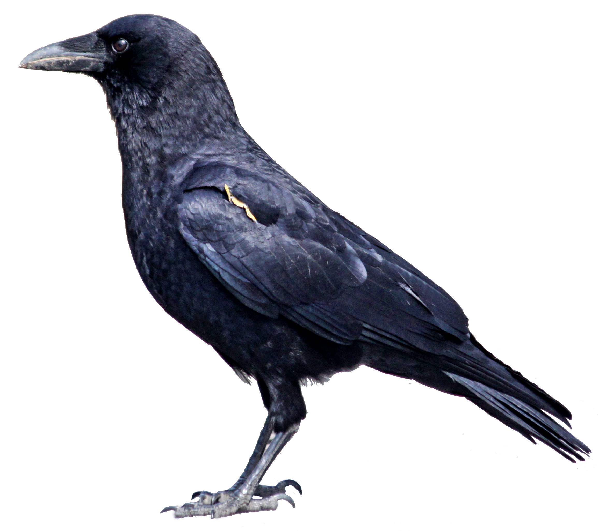 image freeuse stock Craw free on dumielauxepices. Crow clipart.
