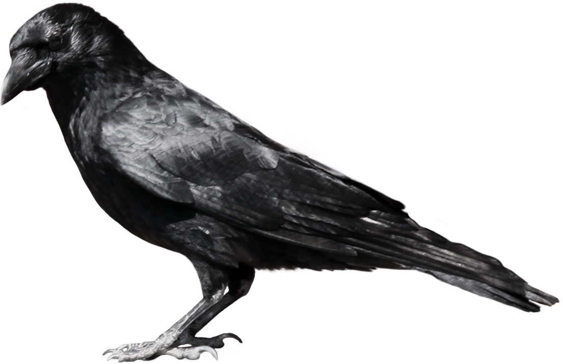 png free library Crow clipart. Free on dumielauxepices net.