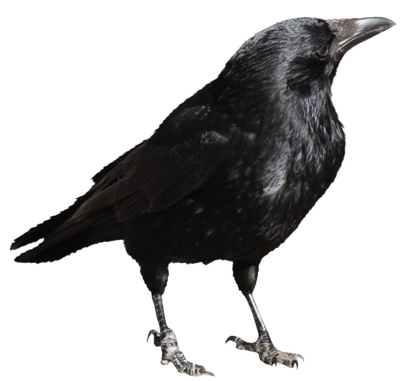 clip free library Transparent crow. Clipart white background graphics