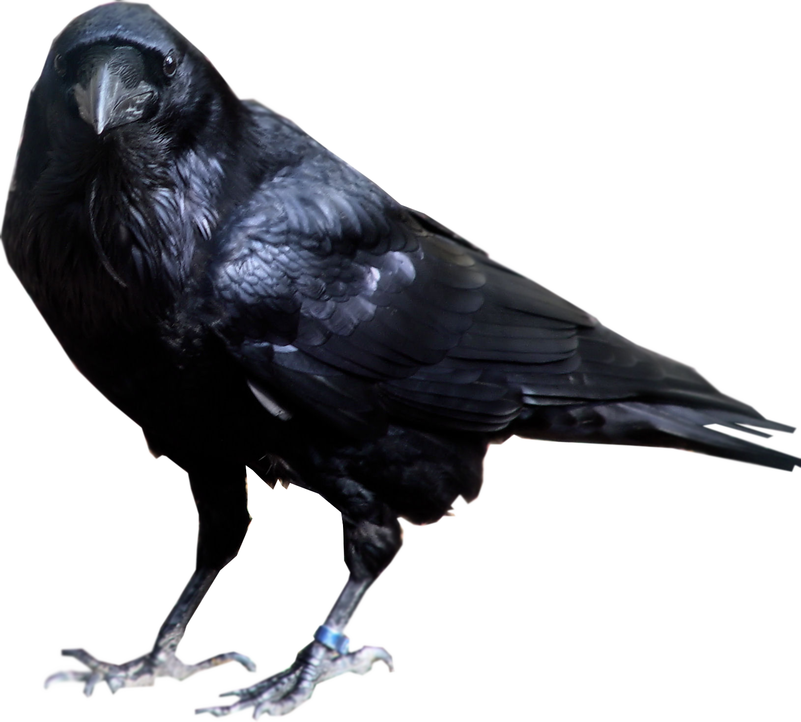 png free stock Black standing png image. Transparent crow background