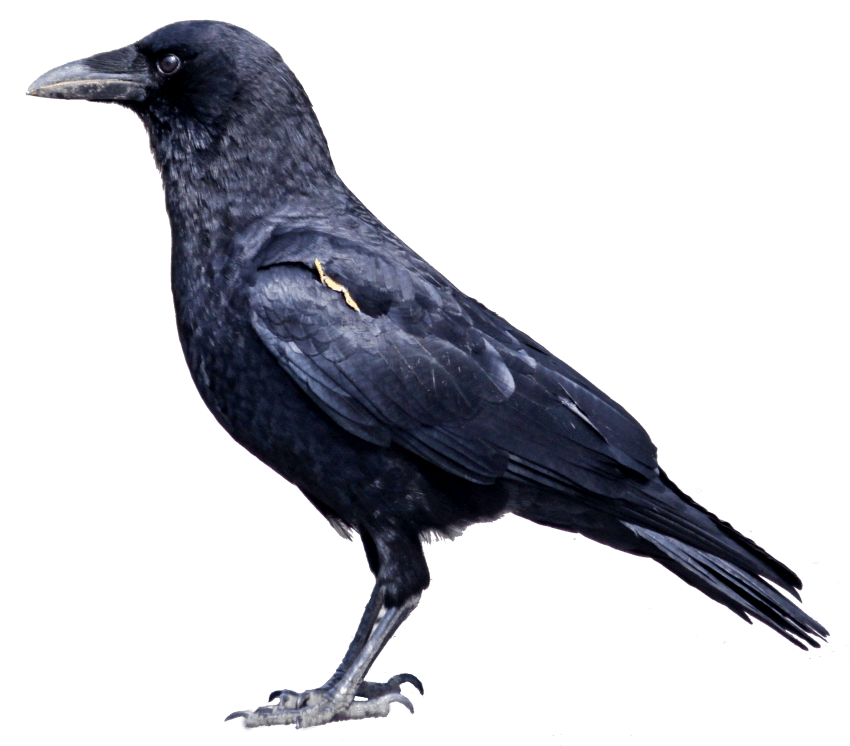 image royalty free Crow png