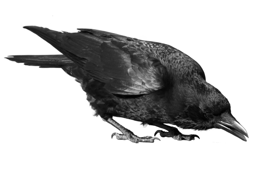 svg download By peroni on deviantart. Transparent crow raven