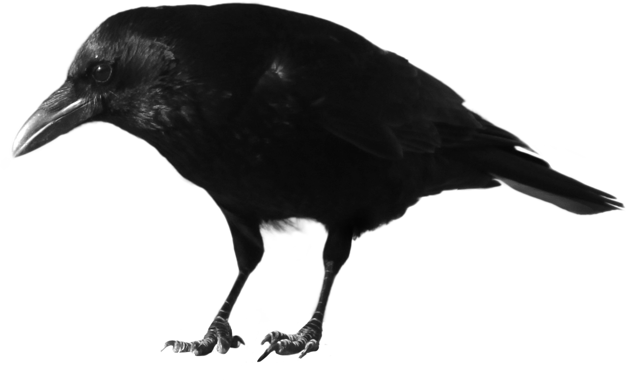picture transparent download Black Crow Standing PNG Image