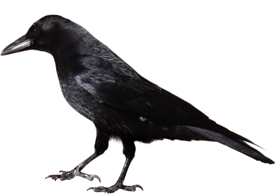 clipart free White background free on. Crow clipart.