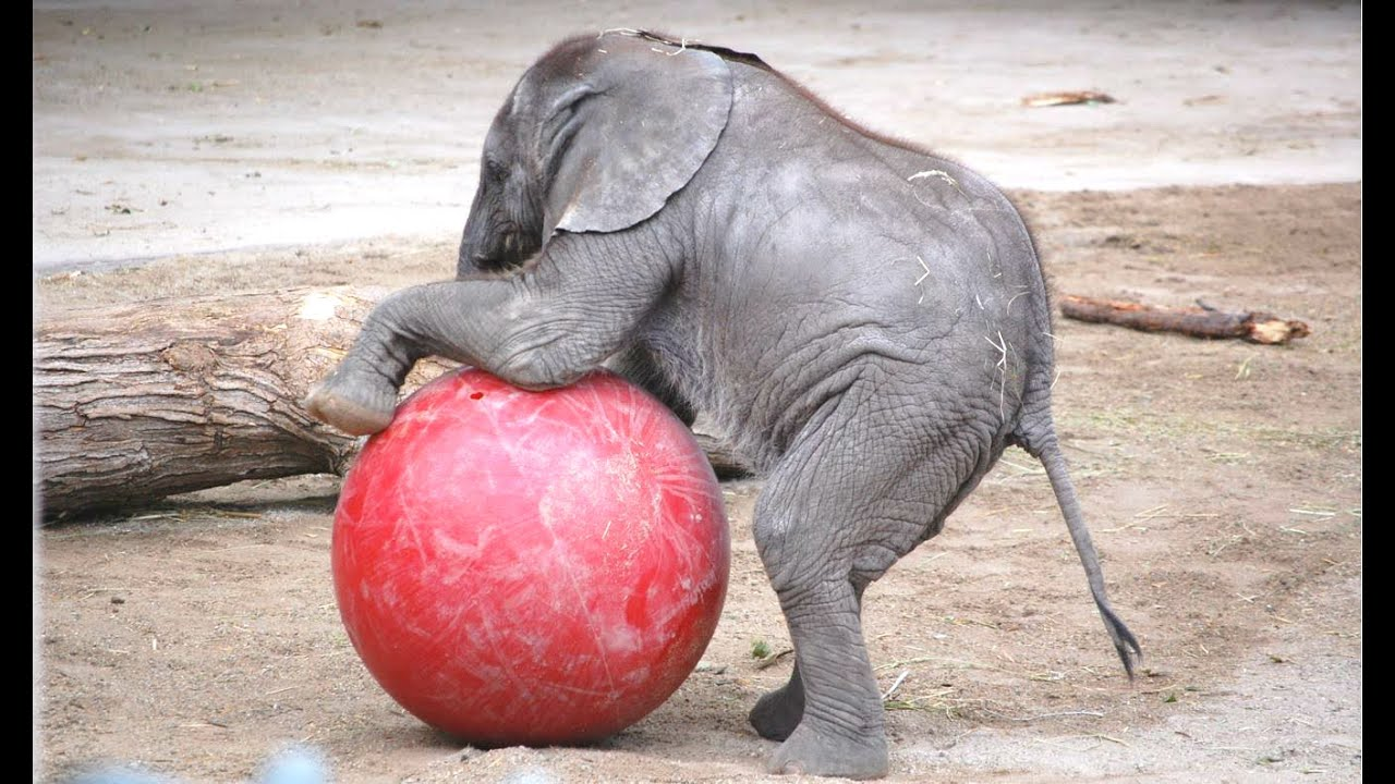 clip transparent Baby elephant a and. Cute cute Cute cute Cute cute Cute cute Cute cute Cute cute Cute cute.