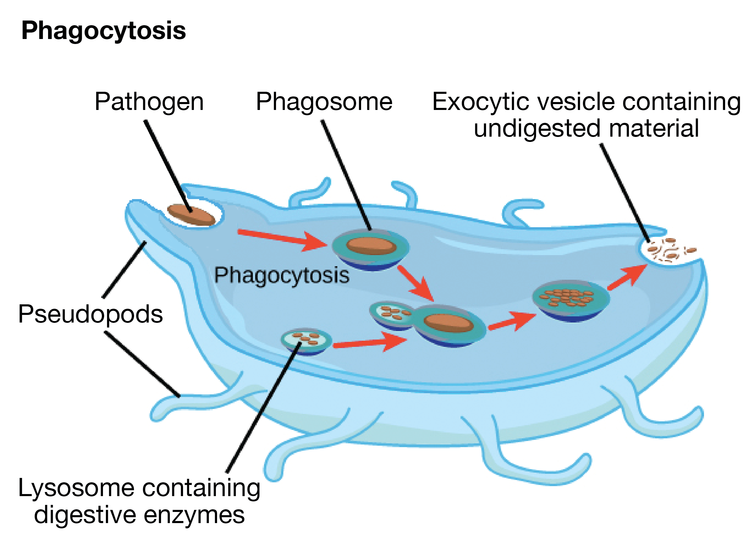 clip art transparent library The cytoskeleton
