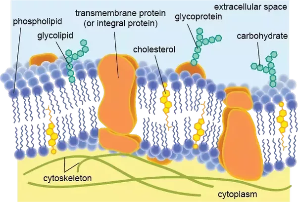 vector free download What are the functions of the cell membrane