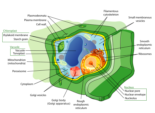 jpg royalty free download Cytoplasmic Organelles and Their Functions