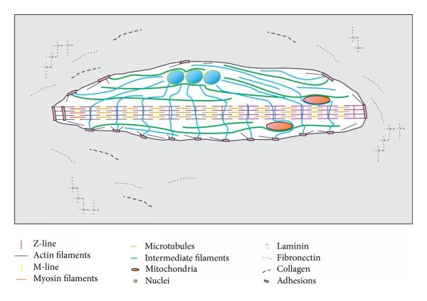 royalty free Cytoskeleton and Adhesion in Myogenesis