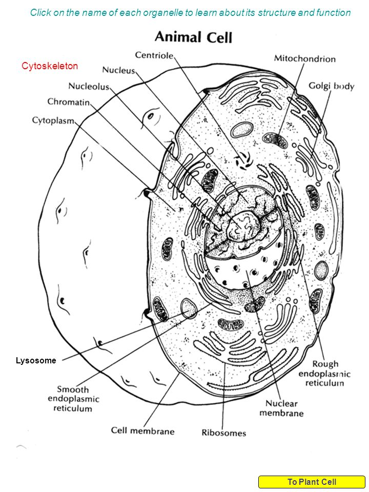 graphic transparent download Click on the name of each organelle to learn about its structure and  function Cytoskeleton Lysosome To Plant Cell