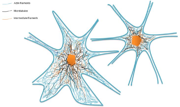 jpg free Schematic of a cytoskeleton as a dynamic
