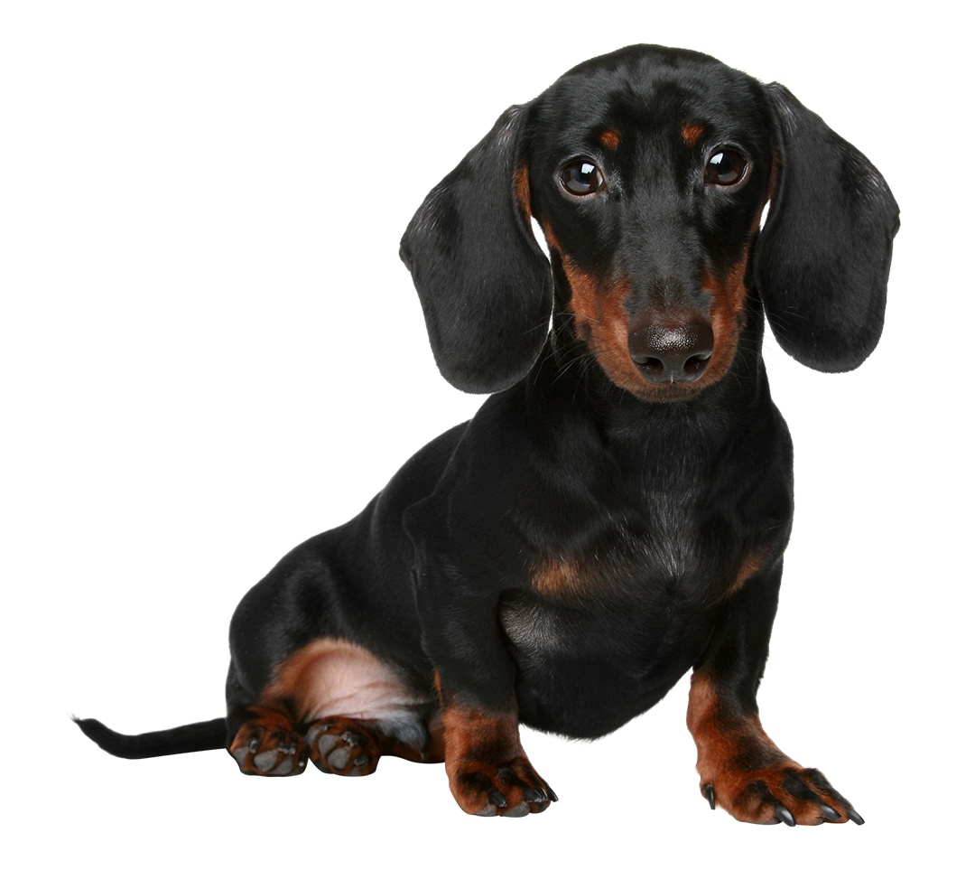 clip art transparent library Cute Dachshund PNG Transparent Cute Dachshund