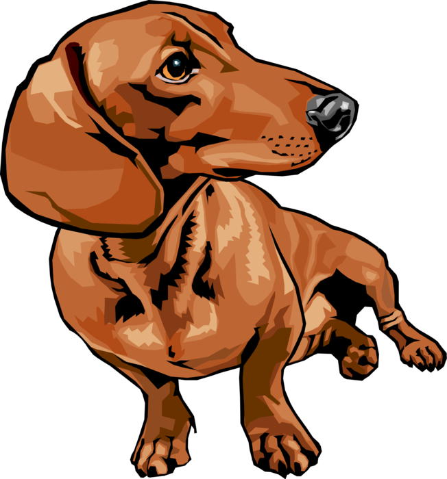 freeuse Dachshund Dog Turns Its Head