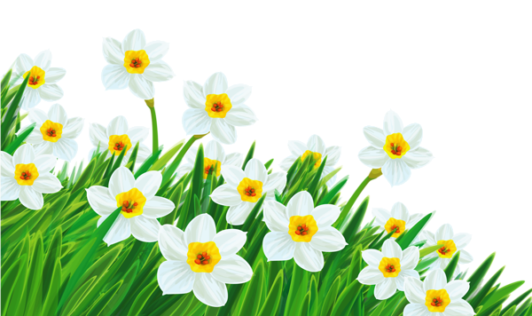 black and white Transparent grass with daffodils. Daffodil clipart daisy garden