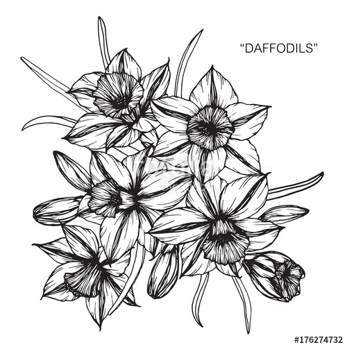 png transparent stock Bouquet of daffodil flowers drawing