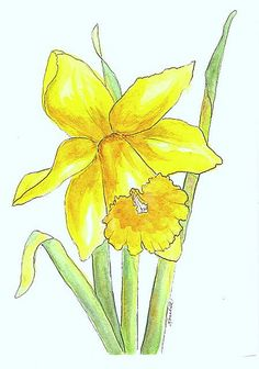 clip royalty free download daffodils drawing colour #145119020