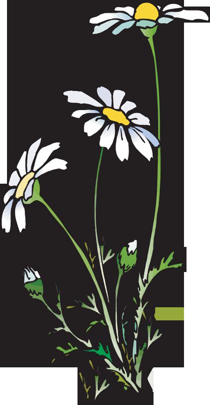 image free stock Daisies clipart. Web design development clip