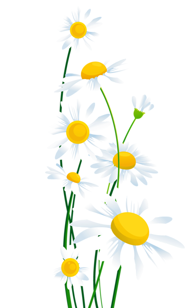 svg Transparent white png margar. Daisies clipart