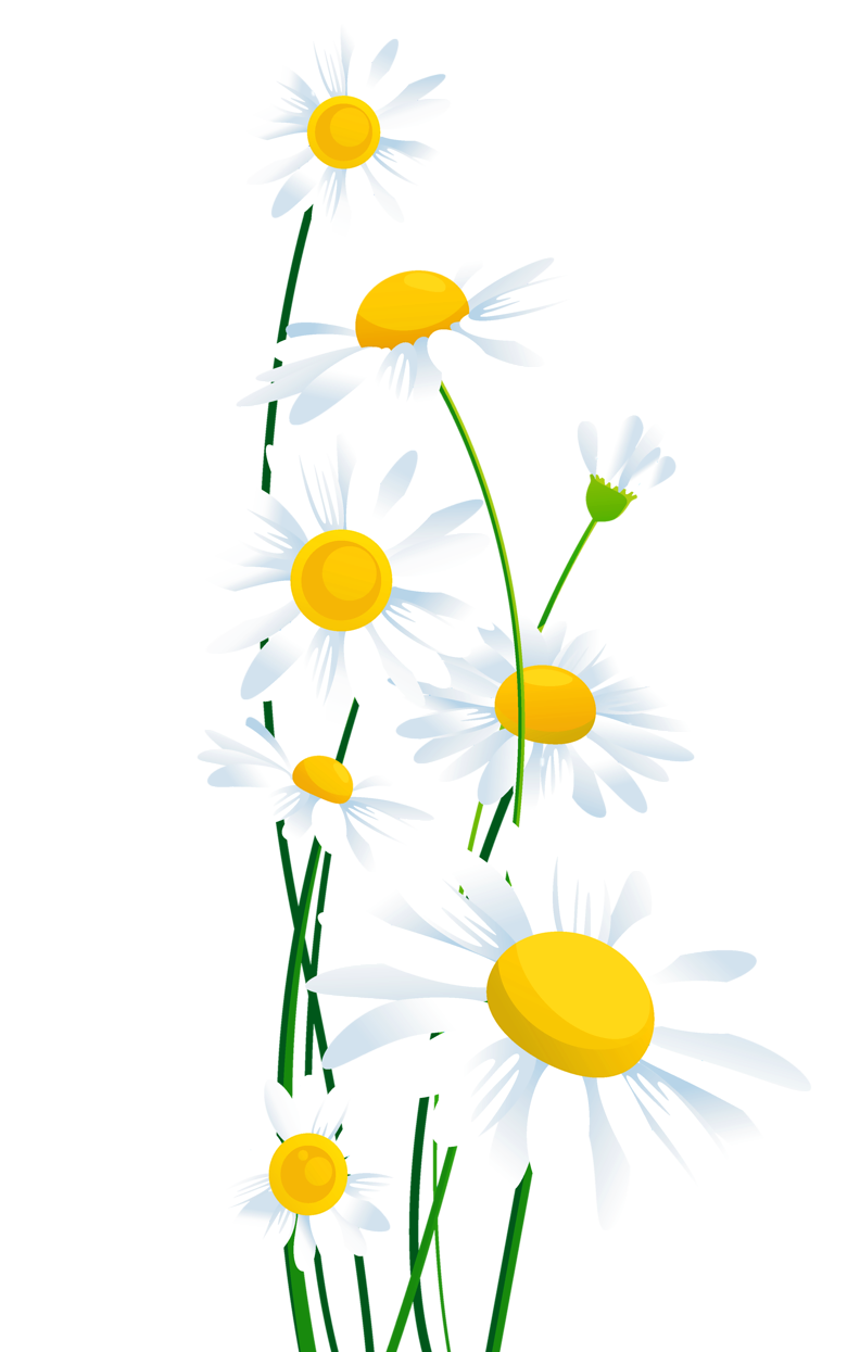 clip library download Transparent white png whitedaisiespngclipartpng. Daisies clipart daisy leaves