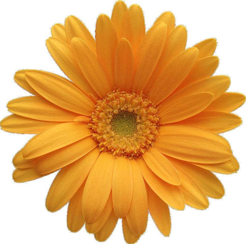 clipart free Daisy clipart. Orange gerber gallery yopriceville
