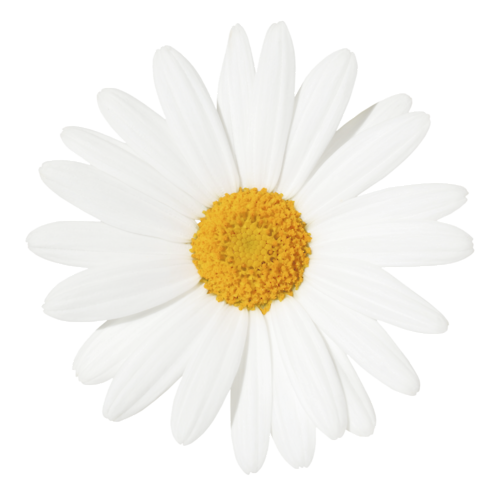 clip library library Yellow Centered Daisy
