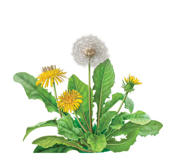 graphic library library Dandelion root herbal supplement. Basil drawing botanical print