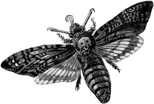 vector freeuse stock Black and White moth transparent death head moth ttransluciduss