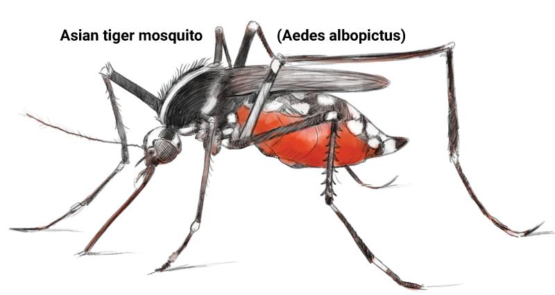 graphic stock Zika vector dengue. The spread of fever.