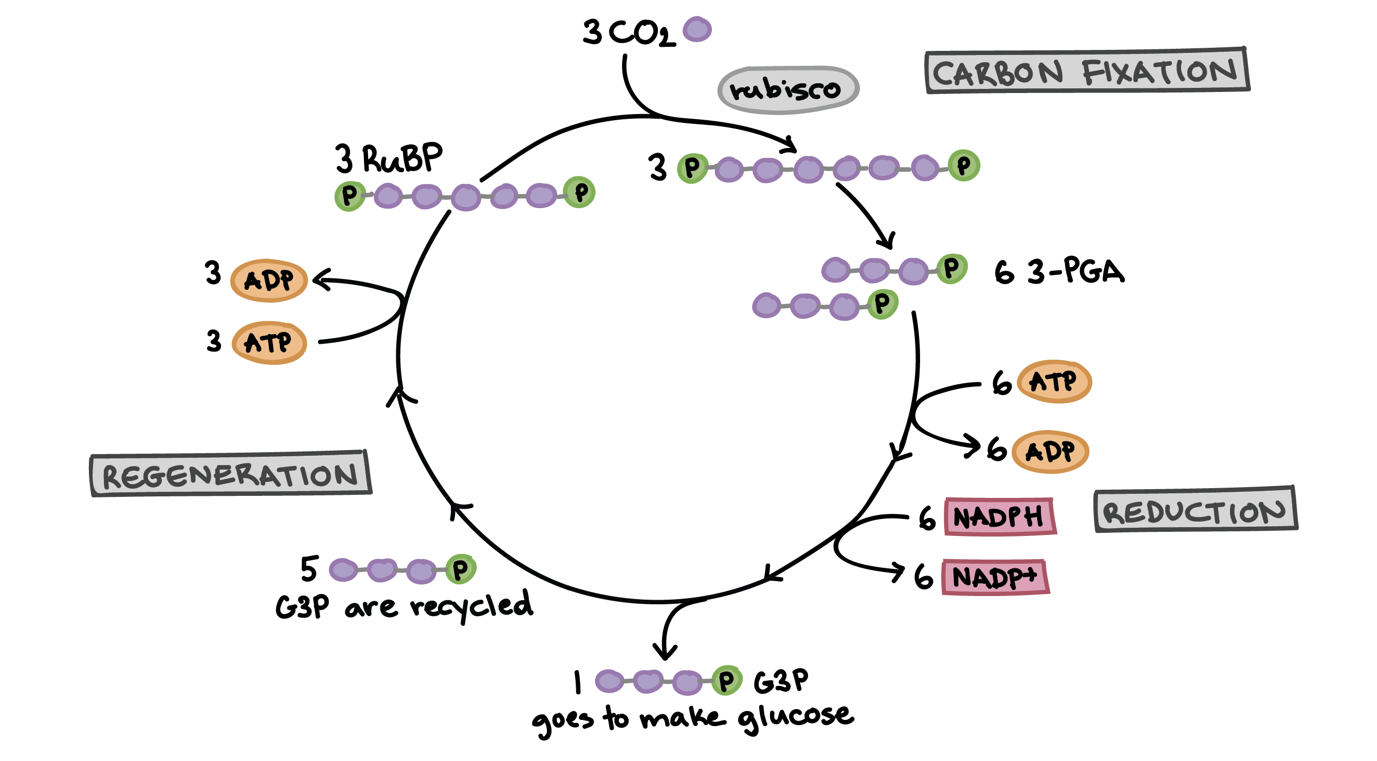 freeuse download The Calvin cycle