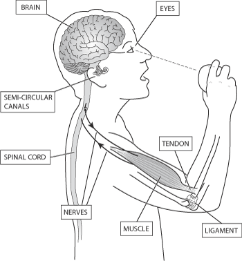 clip art library library Central Nervous System Drawing at GetDrawings