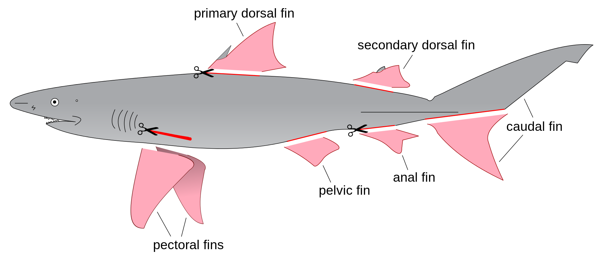 vector free stock Diagram drawing shark. File finning svg wikimedia.