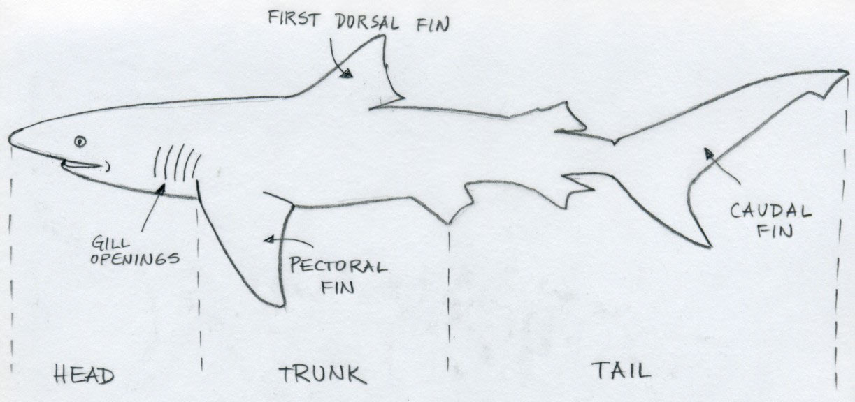 black and white library Diagram drawing shark. Draw basic tutorial .