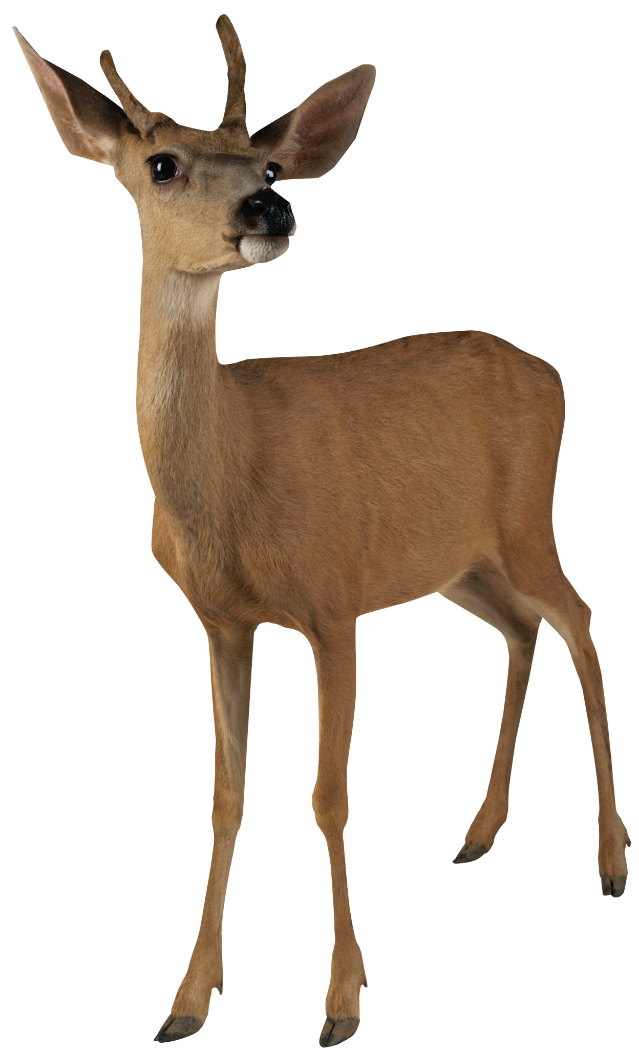 jpg royalty free Doe and buck clipart. Png transparent images pluspng