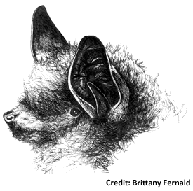 clipart library library Little Brown Bat and Tri