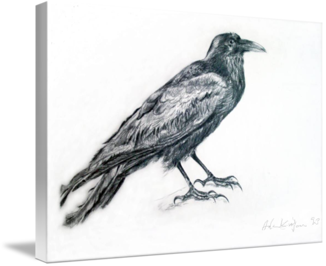svg freeuse library Old raven by aila. Drawing charcoal bird