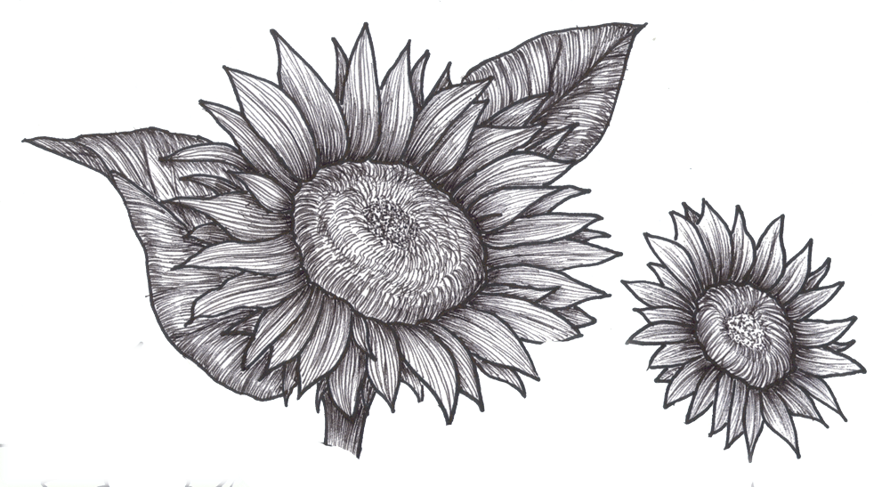 picture royalty free Drawings clip art sunflowers. Drawing charcoal flower