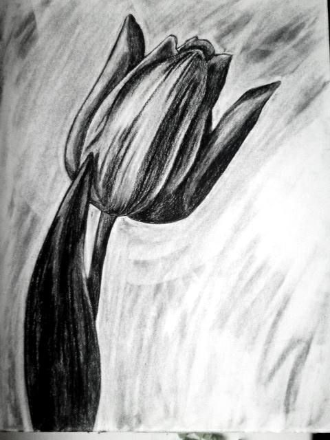 vector freeuse Drawing charcoal flower. Tulip pencil