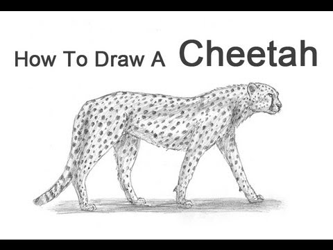 image library stock Drawing cheetahs. How to draw a