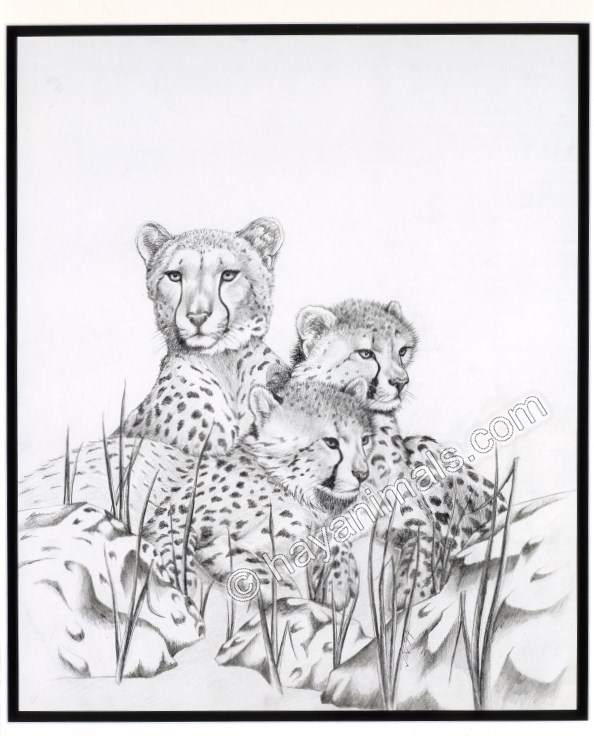 image free The Cheetah Family