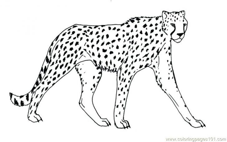image black and white library Cheetah Outline Drawing at PaintingValley