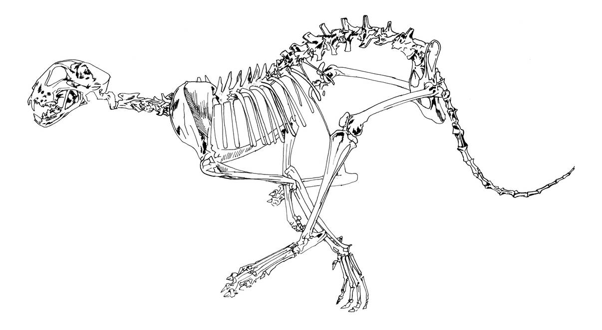 vector royalty free download Cheetah skeleton study sketch by dennisdonohue on DeviantArt