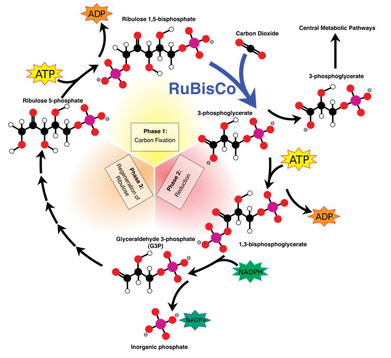 graphic download All About the Calvin Cycle