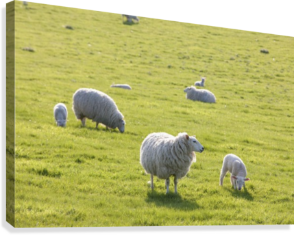 clip art royalty free download Sheep in a field in the typical English countryside of rolling hills
