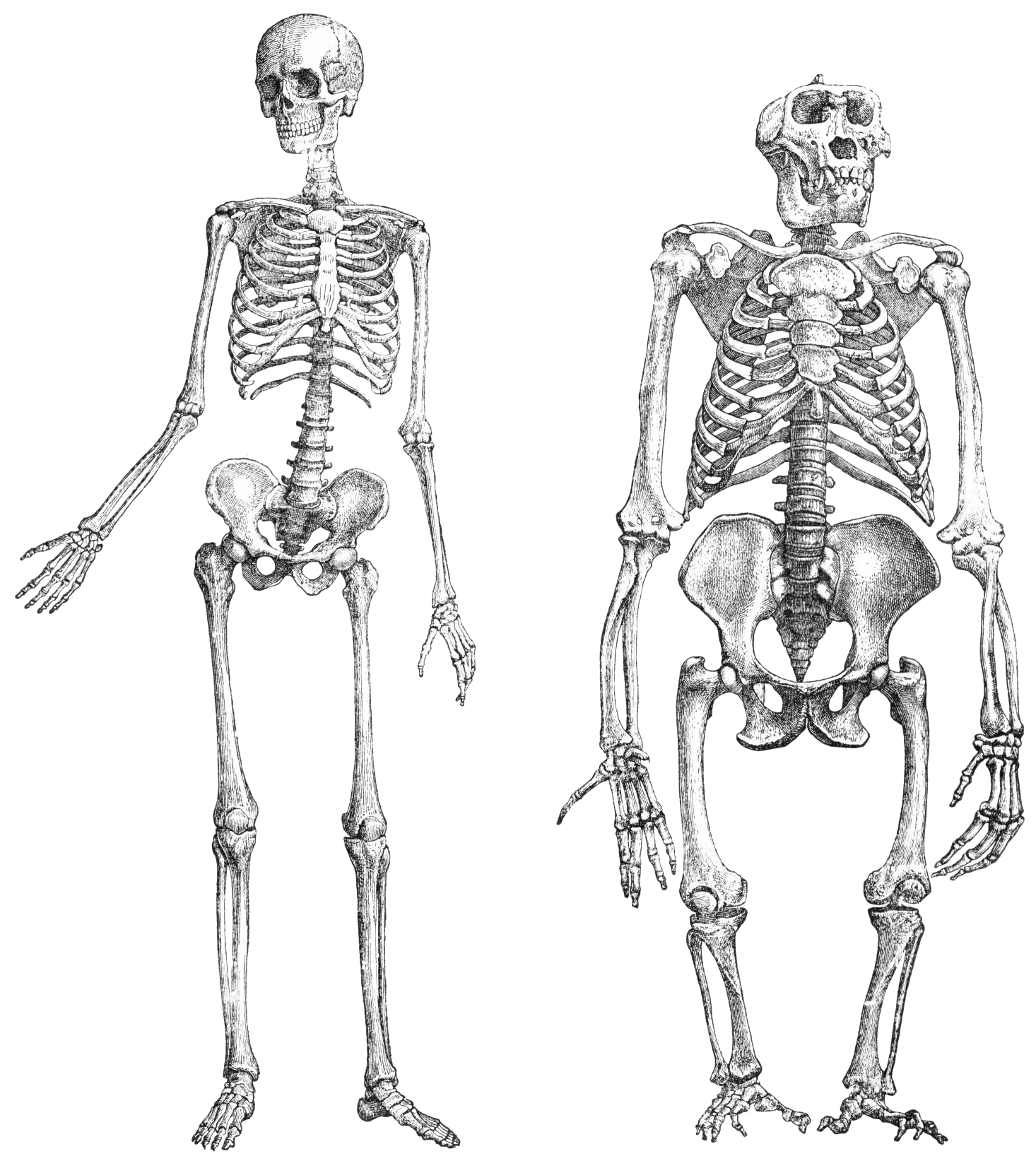 clip transparent library File primatenskelett transparent png. Drawing pic skeleton
