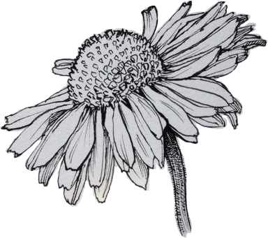 picture freeuse flower drawing art pen ink daisy daisyflower freetoedit