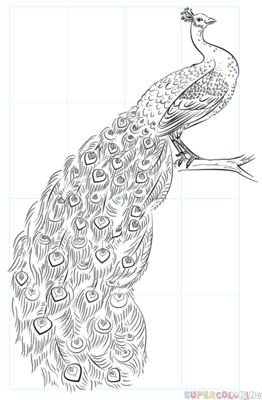 clip freeuse download Drawing peacocks outline. How to draw a
