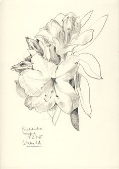 jpg royalty free drawing lilly catalina #134625146