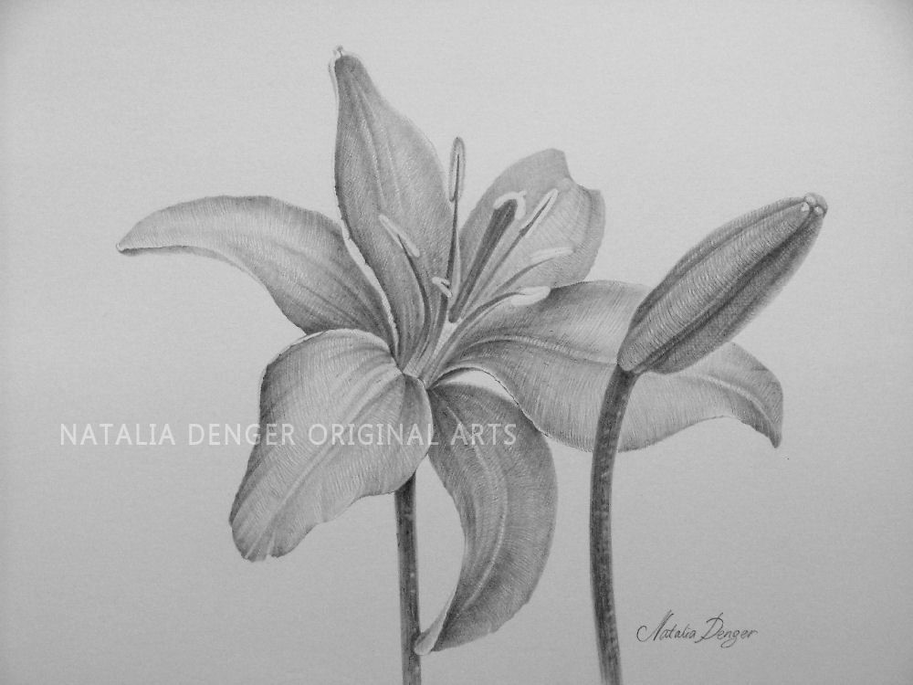 clip transparent Lily Flower Drawings in Pencil images