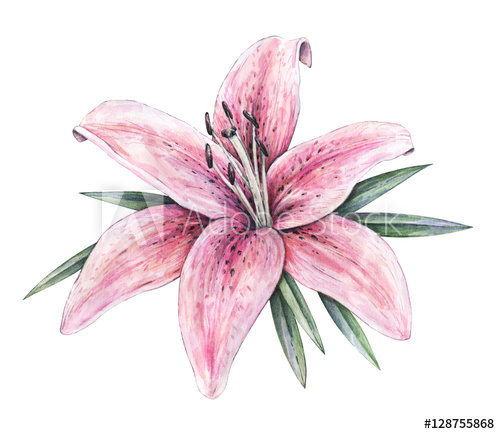 svg freeuse library Pink lily flowers isolated on white background