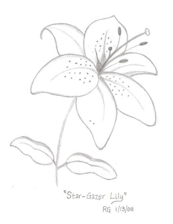 banner transparent download Star Gazer Lily Drawing Photo by rlgooch